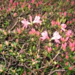 My azaleas have just started blooming