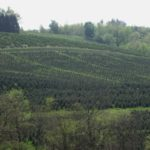 View of conifer crops