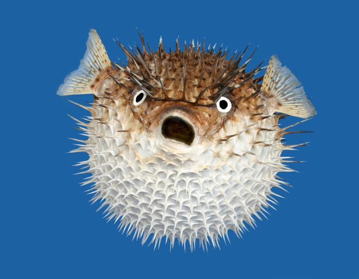 Don 39 t hug a pufferfish for How much is a puffer fish
